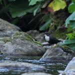 White-throated Dipper (Cinclus cinclus) vodnár potočný