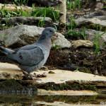 Stock Dove (Columba oenas) holub plúžik