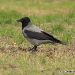 Hooded Crow (Corvus cornix) vrana popolavá