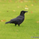 Carrion Crow (Corvus corone) vrana čierna