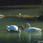 Mute Swan (Cygnus olor) labuť veľká