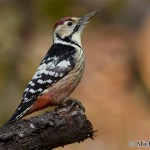 White-backed Woodpecker (Dendrocopos leucotos) ďateľ bielochrbtý