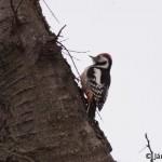 Middle Spotted Woodpecker (Dendrocopos medius) ďateľ prostredný