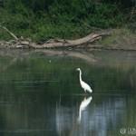 Great Egret (Egretta alba) beluša veľká