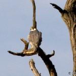 Peregrine Falcon (Falco peregrinus) sokol sťahovavý