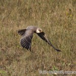 Red-footed Falcon (Falco vespertinus) sokol kobcovitý