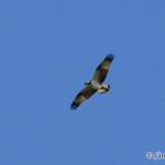 Osprey (Pandion haliaetus) kršiak rybár