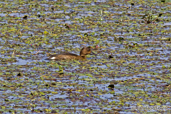 Ferruginous Duck (Aythya nyroca) chochlačka bielooká