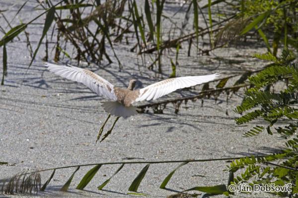 Squacco Heron (Ardeola ralloides) čaplička vlasatá