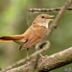 Common Nightingale (Luscinia megarhynchos) slávik obyčajný
