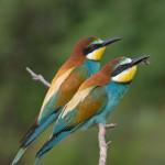 European Bee-eater (Merops apiaster) včelárik zlatý