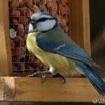 Blue Tit (Parus caeruleus) sýkorka belasá