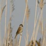Tree Sparrow (Passer montanus) vrabec poľný