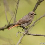 Black Redstart (Phoenicurus ochruros) žltochvost domový