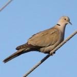 Collared Dove (Streptopelia decaocto) hrdlička záhradná