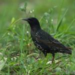 Common Starling (Sturnus vulgaris) škorec obyčajný