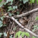 Wren (Troglodytes troglodytes) oriešok obyčajný