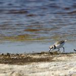 Kentish Plover (Charadrius alexandrinus) kulík morský