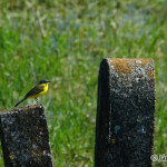 Yellow Wagtail (Motacilla flava) trasochvost žltý