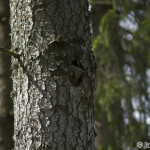 Tengmalm´s Owl (Aegolius funereus) pôtik kapcavý - Ján Dobšovič