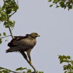 Lesser Spotted Eagle (Aquila pomarina) orol krikľavý