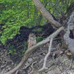 Eagle Owl (Bubo bubo) výr skalný