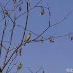 Common Rosefinch (Carpodacus erythrinus) červenák karmínový