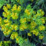 Cypress Spurge (Euphorbia cyparissias) mliečnik chvojkový - Philip Kwan
