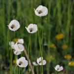 Southermoravian Long-headed Poppy (Papaver dubium ssp. austromoravicum) mak pochybný juhomoravský - Philip Kwan