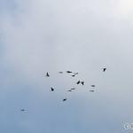 a flock of European Bee-eaters (Merops apiaster) kŕdeľ včelárikov - Philip Kwan