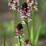 Burnt-tip Orchid (Neotinea ustulata) neotinea počerná - Philip Kwan