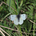 Smal White (Pieris rapae) mlynárik repový - Philip Kwan