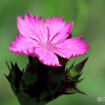 Carnation (Dianthus sp.) klinček - Philip Kwan