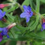 Purple Gromwell (Lithospermum purpureo-coeruleum) kamienka modropurpurová - Philip Kwan