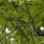Red-breasted Flycatcher (Ficedula parva) muchárik malý
