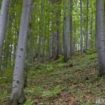 Beech forest / bučina - Ján Dobšovič