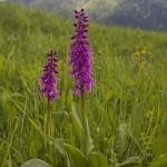 Early Purple Orchid (Orchis mascula) vstavač mužský - Ján Dobšovič