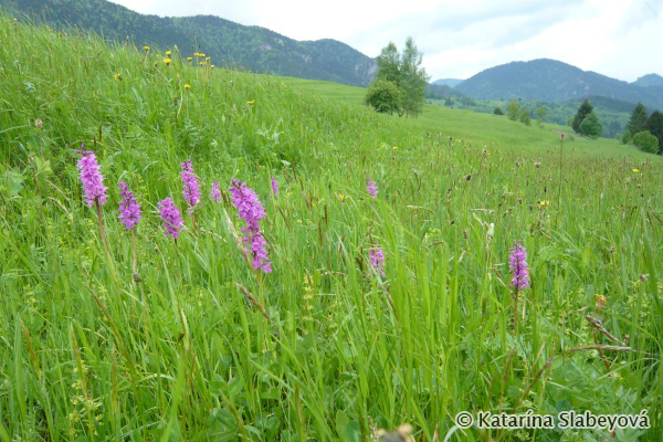 orchid meadow / orchideová lúka - Katarína Slabeyová
