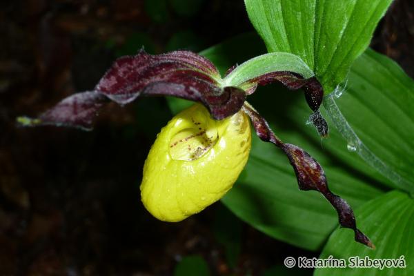 Lady´s Slipper Orchid (Cypripedium calceolus) črievičník papučkový - Katarína Slabeyová