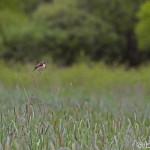 Whinchat (Saxicola rubetra) pŕhľaviar červenkastý