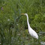 Great Egret (Egretta alba) beluša veľká - Ján Dobšovič