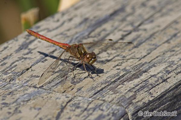 Dragonfly / Vážka