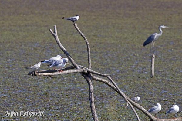 Resting birds / Oddychujúce vtáctvo