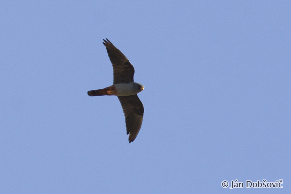 Red-footed Falcon (Falco vespertinus) sokol kobcovitý