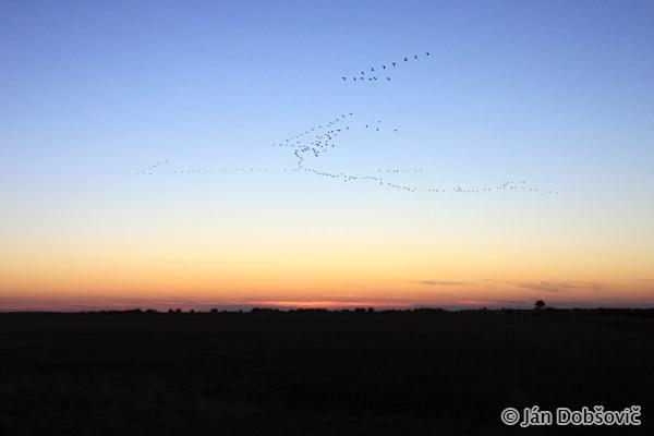 Common Cranes flying to fishponds / žeriavy popolavé tiahnúce na svoje nocoviská - Ján Dobšovič