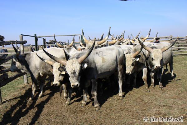Bulls for sale / Býky určené na predaj - Ján Dobšovič