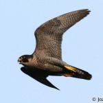 Peregrine Falcon (Falco peregrinus) sokol sťahovavý - Jozef Chavko