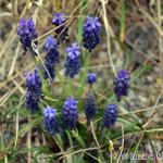 Grape Hyacinth (Muscari sp.) modrica - Zuzana Moravčíková