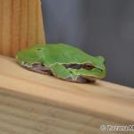 Common Tree Frog (Hyla arborea) rosnička zelená - Zuzana Moravčíková
