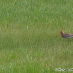 Black-tailed Godwit (Limosa limosa) brehár čiernochvostý  - Ján Dobšovič